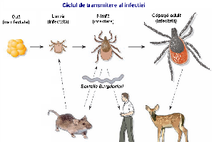 Capusele si boala Lyme