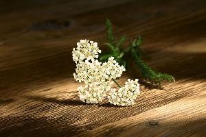 Coada soricelului (Achilea millefolium)