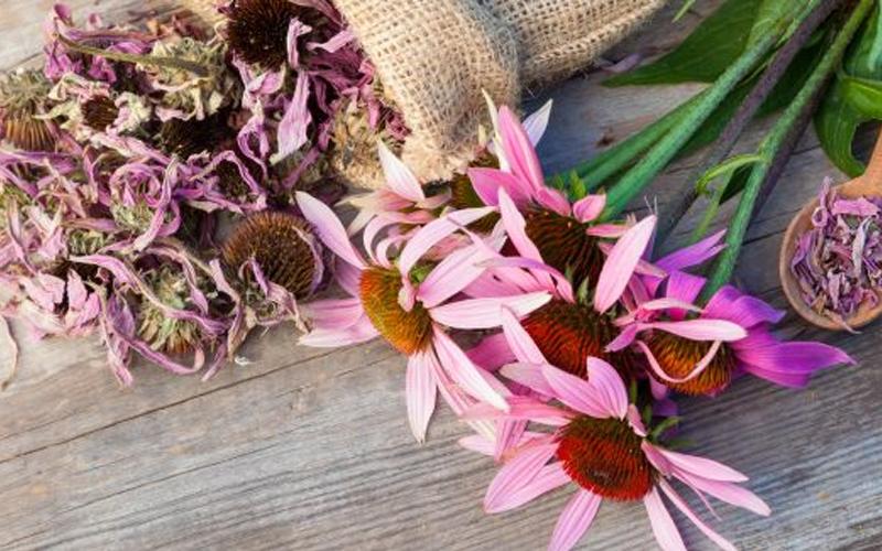 Beneficiile Echinaceei pentru Par si Piele